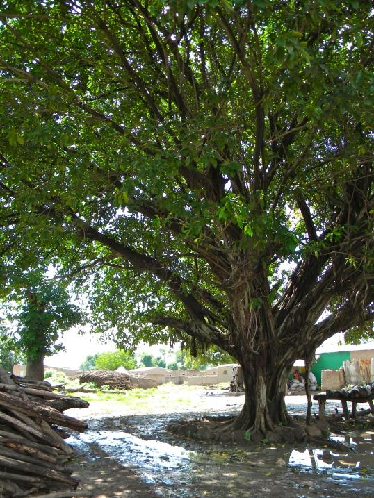 tadia tree