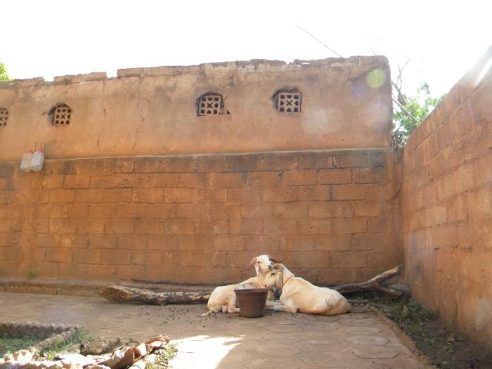 Mali Bamako Eid Adha yard sheep livestock