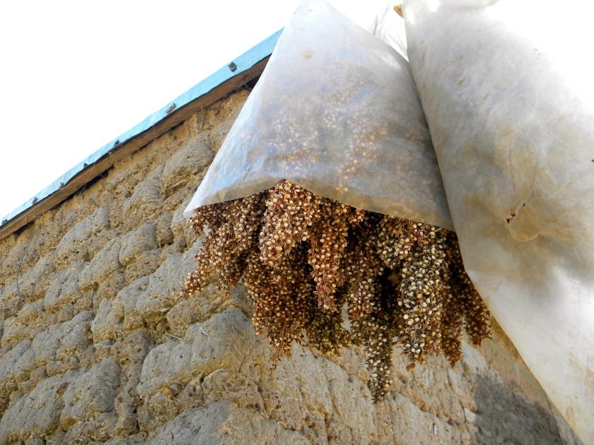 Mali agriculture rural millet cereal harvest thresh