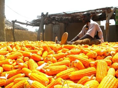 Mali rural village farmer corn maize agriculture harvest