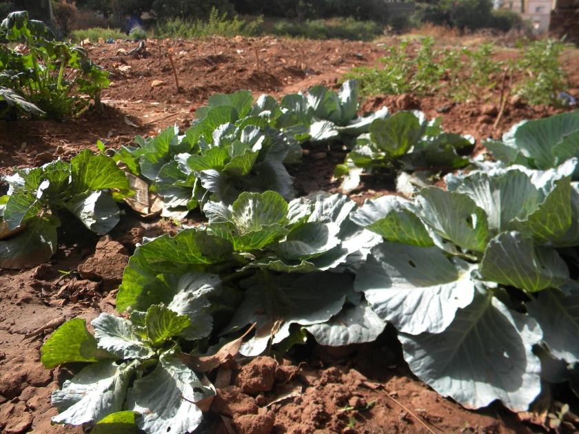 Mali Bamako urban agriculture farm cabbage
