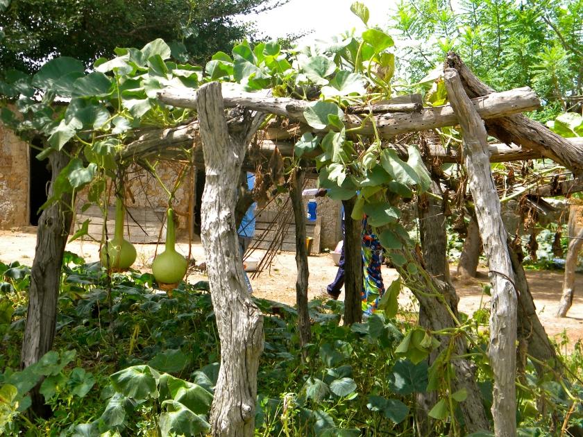 Mali rural village garden trellis design gourd plant farm agriculture