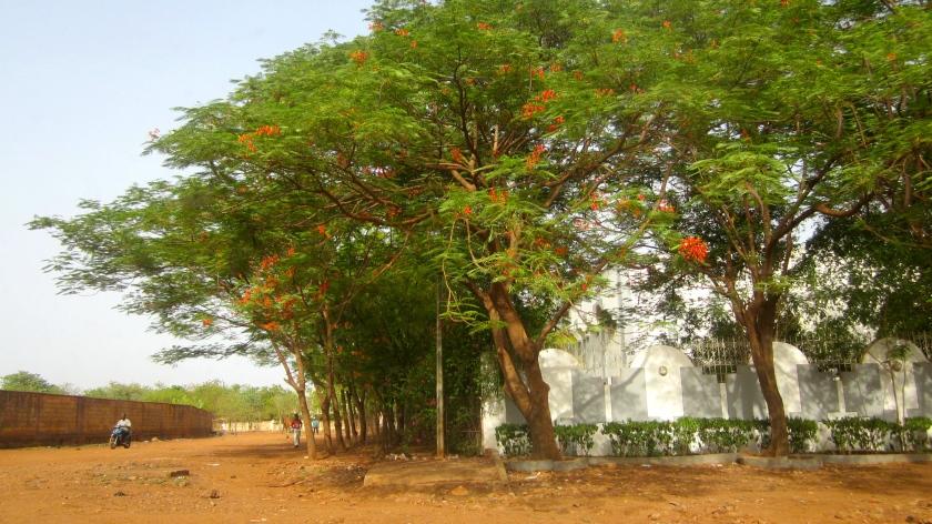 Mali Bamako indigenous tree foliage street