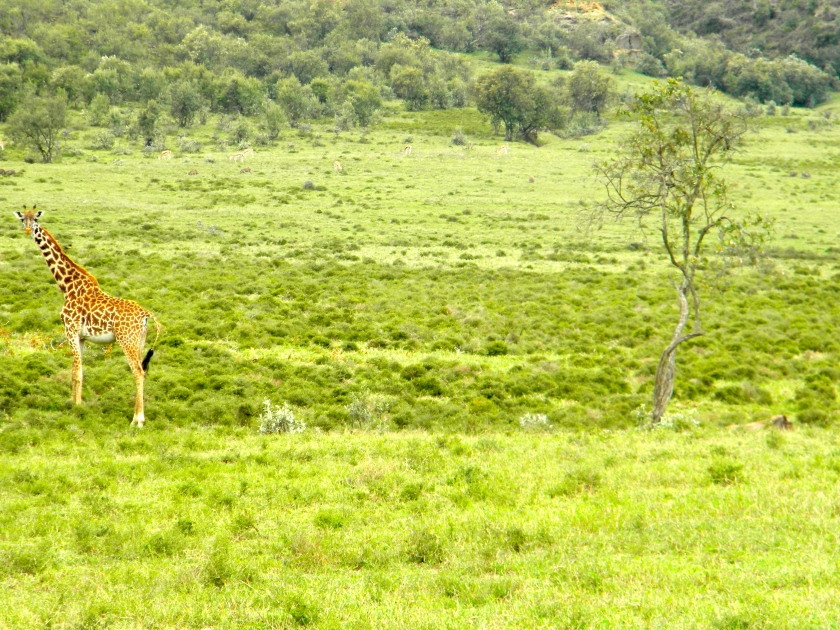 Kenya Rift Valley wildlife giraffe safari