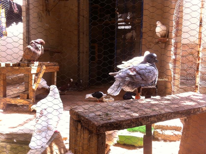 Mali Mopti bird pigeon cage