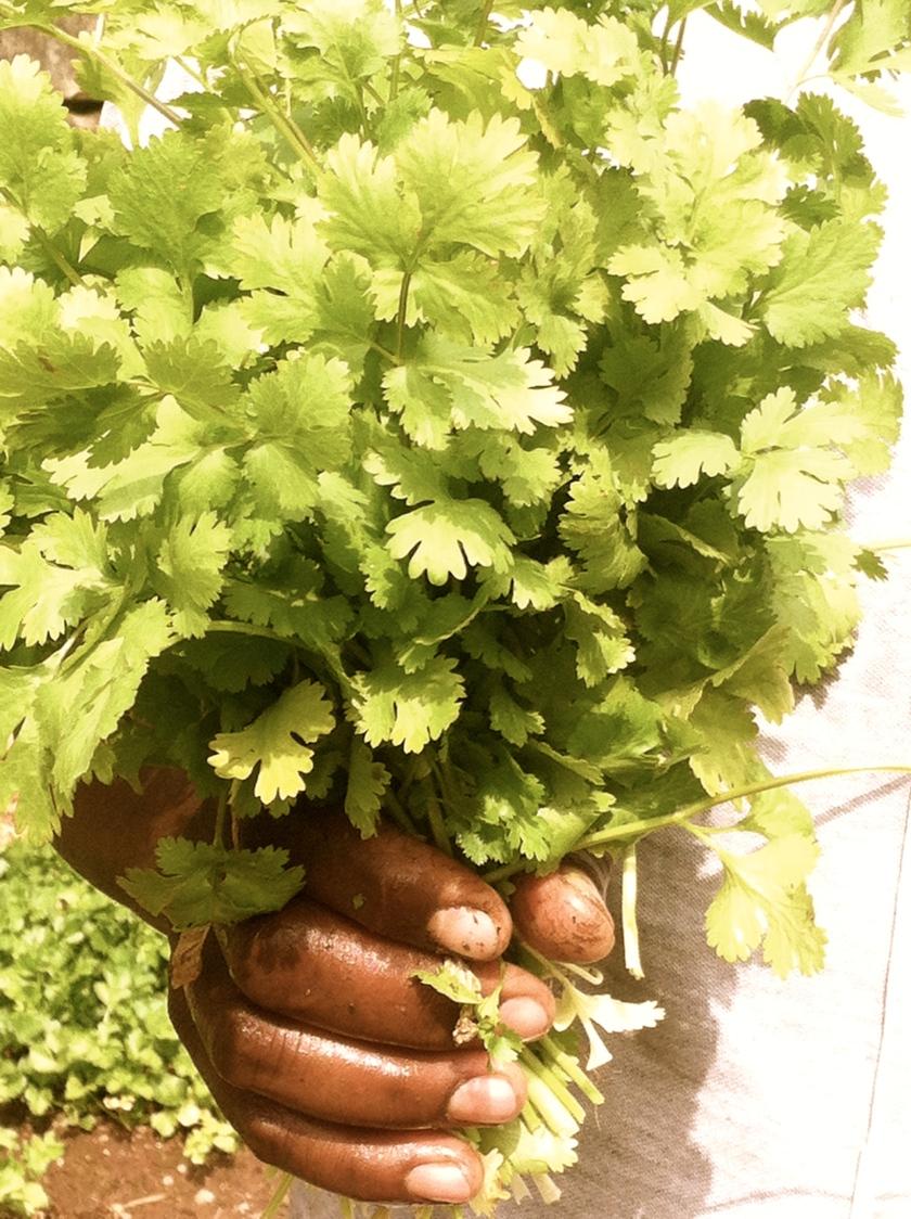 cilantro africa hand bunch fresh picked herb
