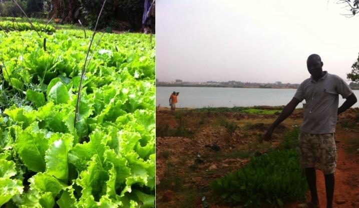 lettuce urban garden gardener farmer Niger river Bamako