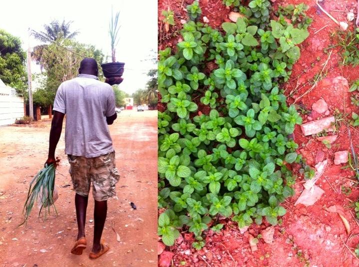 Bamako urban garden farmer pot plant mint spearmint