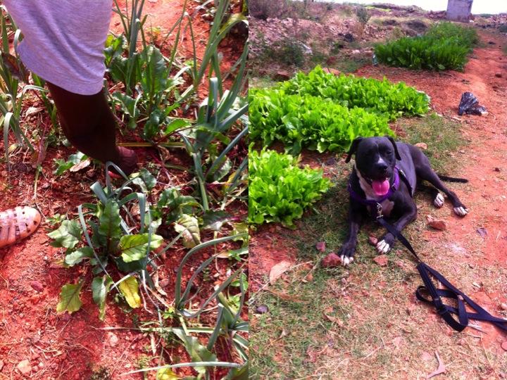 Bamako Mali urban garden leeks farm dog