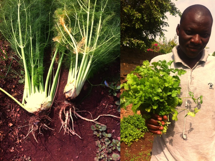 Bamako urban garden gardener farmer cilantro fennel