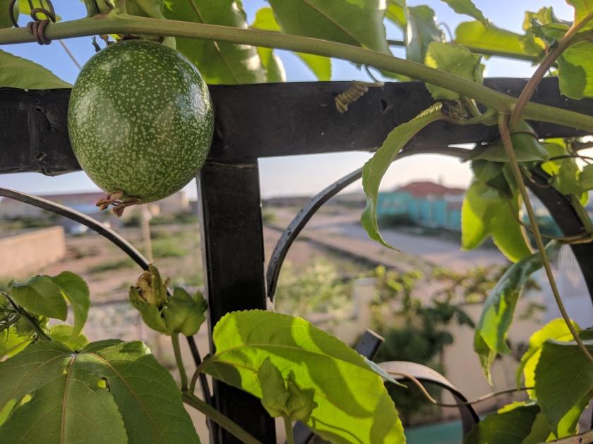 passion fruit hargeisa somaliland balcony