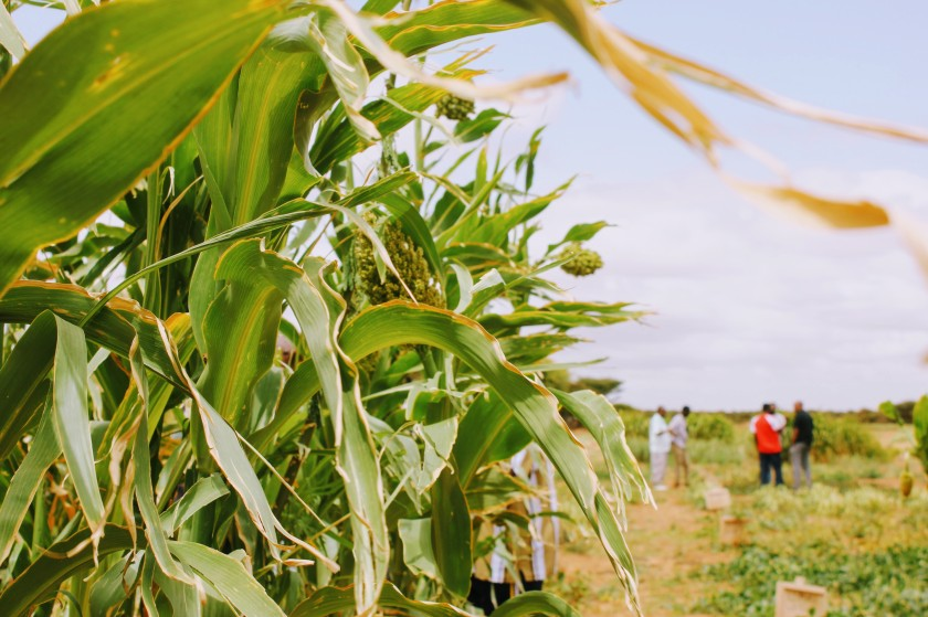corn field agriculture sorghum farm Africa Somaliland