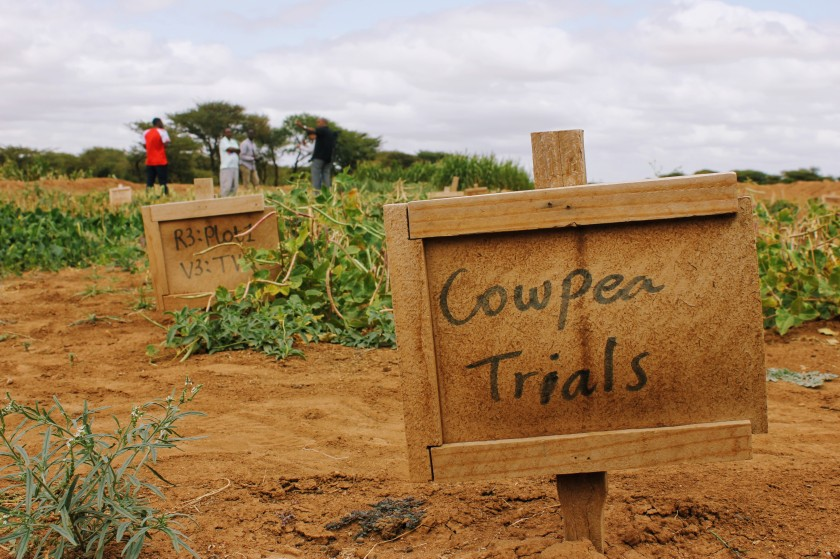 agriculture pilot research trial cowpea Somaliland Africa