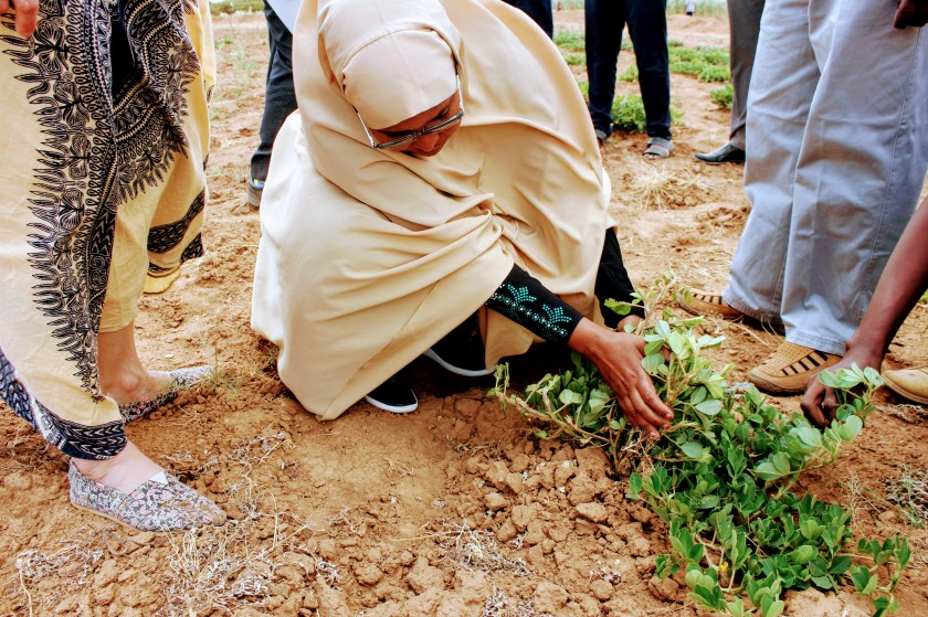 female woman research scientist student agriculture Somali Somaliland Africa peanut groundnut field harvest