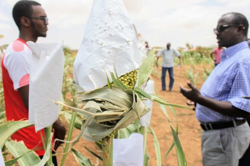Somaliland Africa research Aburin sorghum trial agriculture