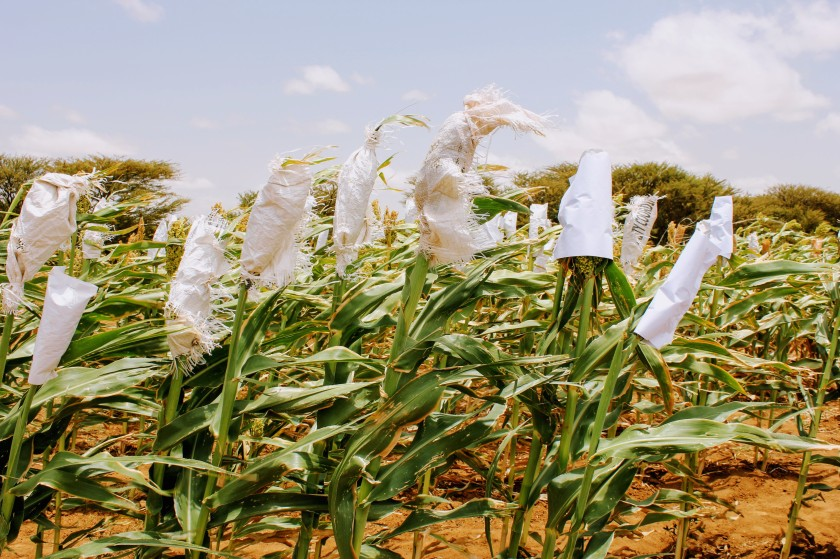 Aburin Somaliland Somali agriculture sorghum research crop drought